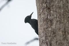 zwarte-specht-1.jpg (yhoebeke) Tags: blackwoodpecker dryocopusmartius picidae zwartespecht