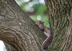 week 31 - street candid (the_green_squirrel) Tags: dogwoodweek31 fauna dogwood52 squirrel mammal arlington virginia unitedstates us