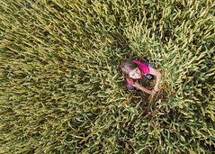 Wheat (Sheldrickfalls) Tags: wheat hiding ashton warmington northants northamptonshire england uk