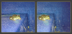 Green Frog, Lithobates Clamitans - Crosseye 3D (DarkOnus) Tags: formerly known rana clamitans pennsylvania buckscounty huawei mate8 cell phone 3d stereogram stereography stereo darkonus closeup macro crossview crosseye copes gray eastern treefrog frog green lithobates