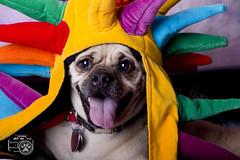 Eddie5 (Shutters for Shelters) Tags: misfitsdogrescue shuttersforshelters s4s dogs jillt8 colorado eddie pug costume hats