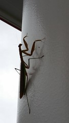 Mantis a.k.a. a Praying Mantis (Adventurer Dustin Holmes) Tags: 2016 bug bugs predators predator prayingmantis animal animals critter mantodea mantidae mantids missouri ambushpredators ambushpredator animalia arthropoda insecta pterygota neoptera dictyoptera