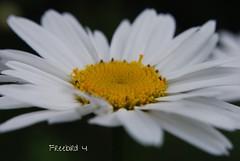 Dreams (freebird4) Tags: dreams d60 nikon freebird4 north wales beach flower daisy big