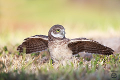 Sunworshipper (Megan Lorenz) Tags: burrowingowl owl owlet bird avian birdofprey nature wild wildlife wildanimals travel 2016 florida meganlorenz mlorenz