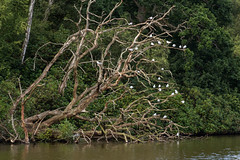 Gull tree (Graham Dash) Tags: 2016pad trees gulls obeliskpond windsorgreatpark virginiawater surrey
