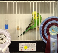 Best Opposite Sex Any Age 2-2 G Carter (Brother G) Tags: hastings budgerigar society open show 2016