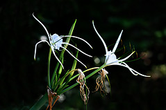 DSC_0001 Spider Lily (tsuping.liu) Tags: outdoor blackbackground white plant flower nature natureselegantshots naturesfinest wild wildflower