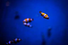 Finding Nemo (Maximecreative) Tags: select fish aquarium blue clown orange stripes nemo disney sigma 35mm