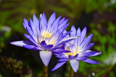 Blue Sisters! (ineedathis,The older I get the more fun I have....) Tags: waterlily starofsiam lily nympaea  flowers nikond750 tropical exotic beauty pond nature water garden summer aquaticplant plant lilypads blossom petals blue yellow pistil