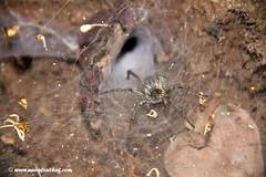 A Spider coming out of its den (Aithal's) Tags: canon18135mmis eos digital canon 7d 18135mm canon18135mmisusm murali aithals aithal wwwmuraliaithalcom 18135 dandeli spider