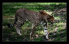Cheetah On The Prowl (Seeing Things My Way...) Tags: cheetah cat bigcat predator westernplainszoo tarongazoo dubbo nsw australia