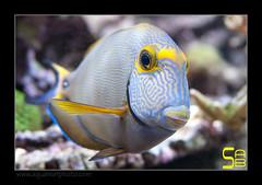 ALAIN2dussumieri6467 (kactusficus) Tags: marine reef aquarium alain captive ecosystem rcifal acanthuridae chirurgien surgeonfish tang acanthurus dussumieri
