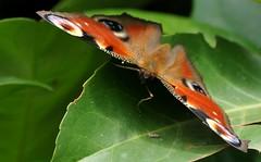ti proteggo... (andrea.zanaboni) Tags: farfalla butterfly nikon macro colori colors vanessa vanessaocchidipavone occhi eyes