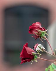 Framed, in a Window. (Omygodtom) Tags: flower flickr rose street natural nikon d7100 nikon70300mmvrlens facebook