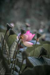 Fior di loto proteso (FolleMente) Tags: natura lotus fiordiloto nature grazie lombardia italia it