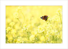 lost in a yellow sea (Zino2009 (bob van den berg)) Tags: butterfly admiraal yellow sea geel vlinder mariposa farfale schmetterling gelb jeune wild natuur nature holland herfst indiansummer zino2009 bobvandenberg