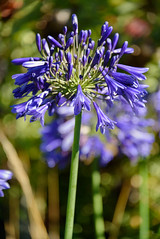 Rich Colour (Jocey K) Tags: newzealand southisland akaora flowers agapanthus