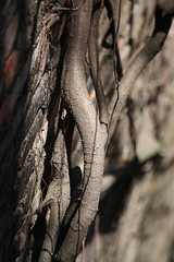 root or branch (Peter J Brent) Tags: tainan taiwan anpingoldtaitandco treehouse banyantree