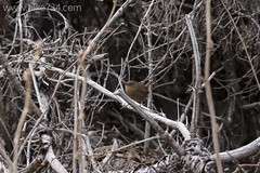 """Winter Wren • <a style=""""font-size:0.8em;"""" href=""""http://www.flickr.com/photos/63501323@N07/16646393284/"""" target=""""_blank"""">View on Flickr</a>"""