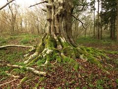 The Big Tree 4 April 2105 (ART NAHPRO) Tags: rachael tree giant sussex big jackson weald beech4april2015