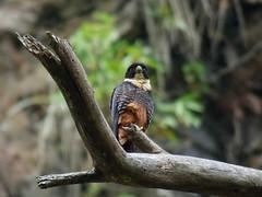 Halcon murcielaguero (Falco rufigularis) (andresdelgado88) Tags: