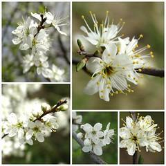 Bloesem (Geziena) Tags: macro collage closeup klein sony nederland lente wit bloesem drenthe bloem knoppen voorjaar raynox bloeien voorzetlens dschx300