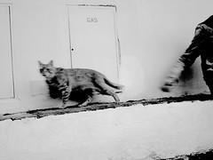 (SofiDofi) Tags: blackandwhite italy cat evening florence furry feline europa europe italia hand walk exploring m tuscany april firenze lovely toscana runningaway scaredy skittish spring2015 twomonthsinitaly