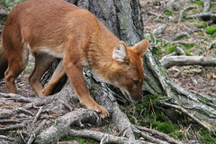 2014-08-17 (194) (CookiiEwe) Tags: park dog animals fur sweden wildlife hund sverige paws djur kolmrden djurpark dhole pls tassar