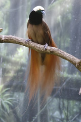 Empress of Germany bird of paradise (ucumari photography) Tags: bird sc animal south columbia carolina april riverbankszoo 2015 specanimal paradisaearaggiana ucumariphotography dsc1222 ragginanabirdofparadise
