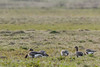 Lesser White-fronted Geese 2015