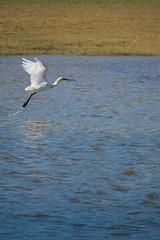 spatule blanche (mickeynounet) Tags: bird nature blanche eurasian oiseau baie spoonbill somme spatule platalea leucorodia
