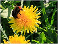 Springtime: nature calls (H. Bos) Tags: flowers nature spring close natuur bumblebee lente hommel planten bloemen springtime almere almerehaven