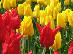 IMG_5886 (Gkmen Kmrt) Tags: tulips tulip 2014 emirgan laleler