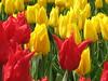 IMG_5886 (Gökmen Kımırtı) Tags: tulips tulip 2014 emirgan laleler