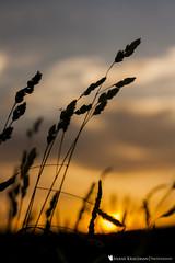 Final Light (ShaneK Photography) Tags: sunset sunlight nature beautiful field flora gorgeous wheat wv westvirginia lensflare flare shanekrausman krausman