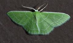 # 7058 – Synchlora aerata – Wavy-lined Emerald Moth (Wildreturn) Tags: usa insect moth may insects mo lepidoptera missouri geometridae insecta synchlora synchloraaerata fieldguide lincolncounty 7058 mmfg geometridmoths wavylinedemeraldmoth cuivreriverstatepark hodges7058 mothsofmissouri mothsofmissourifieldguide