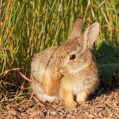 Baby Bunny (dcstep) Tags: urban usa baby bunny nature colorado urbannature dxo cherrycreekstatepark cottontailbunny canon7dmkii ef500mmf4lisii ef14xtciii y6a5713dxosrgb