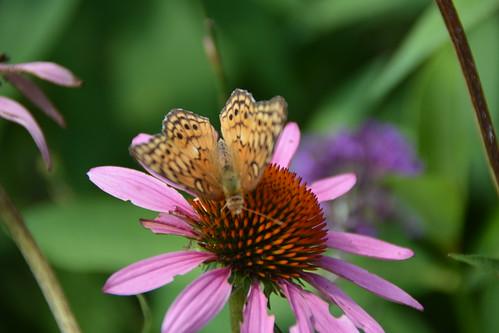 Skipper pollinator on purple coneflower
