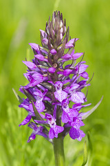 Southern Marsh Orchid (Explored) (wayne.withers1970) Tags: