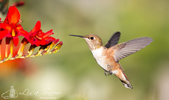 068A5433_edit_resized_wm (Lisa Snow Photography) Tags: hummingbird