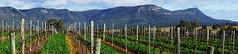 Vineyard Panorama (Blue Mtns. bush girl) Tags: scarboroughwineco hunter valley panorama brokenback range