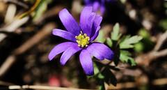Ranunculus  (Wedding flower)-Dn iei- Ermenek 2016 (oztas) Tags: oztas ranunculus bykkarapnar