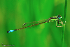 Iscnura-graelsii-macho (Lucas Gutiérrez) Tags: ischnuragraelsii macho genitalia cercoides zygópteros odonatos ríoguadalfeo granadanatural lucasgutierrezjimenez