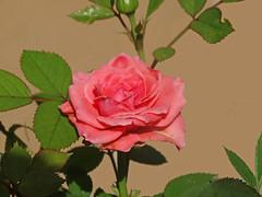 DSC00056 (gregnboutz) Tags: pink flowers roses flower macro rose pinkflower macros pinkrose pinkflowers macroflowers pinkroses macroflower bloomingflower bloomingflowers macrorose macroroses colorfulroses colorfulmacros gregboutz