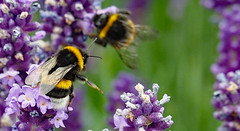 bumblebee talk - 'these over here are sweeter' (Simple_Sight) Tags: hummeln lavendel makro macro closeup bumblebees lavender garten garden ngc npc