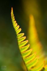 Fern (Overtherainbow changes to KV Photography) Tags: kvphotography katerinavodrazkova priroda nature macro dendrologickazahrada pruhonice fern kapradi ferns wodland forest green