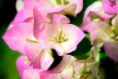 Bougainvillea (Emily Kistler) Tags: clearwater florida flowers outdoors bougainvillea pink macro bokeh green usa unitedstates america nikon d750 nature