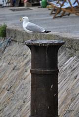 _DSC0150 (Wandering Worker) Tags: cornwall gull beach stives