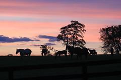 IMG_6468 (jroltmanns_) Tags: kentucky lexington horsefarm thoroughbred horses sunset bluegrass pinksky horse sky south