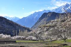 Beautiful valley of dreams (Nagar Valley) (Furqan LW) Tags: nagarvalley hunzavalley gilgit pakistan landscape nature naturephotography blossom bloosom